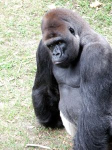 Gorilla straight on 644152_big_ape