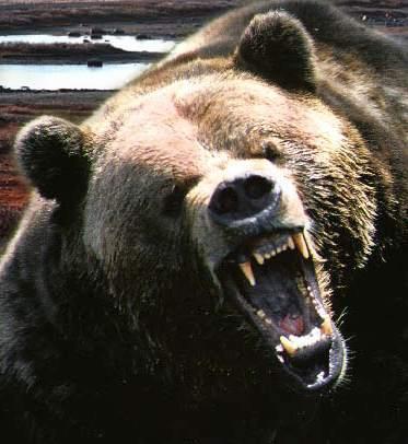 bear attack 109706994_9fc6bbafd0