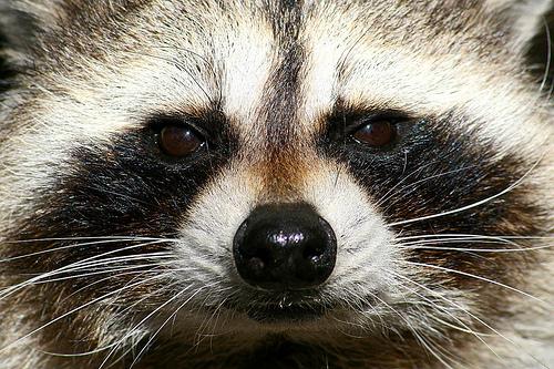 raccoon 3  2414400006_0ffb4e6ee7