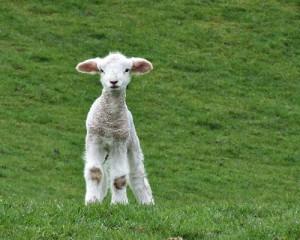 sheep - spring lamb 229819241_30cc157e52